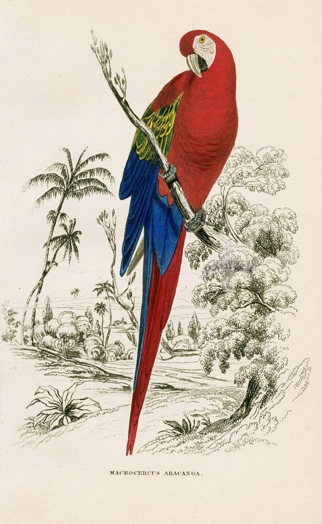 Parrot painting by Edward Lear